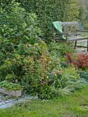 Hypericum androsaemum und inodorum (Johanniskraut), Spiraea japonica