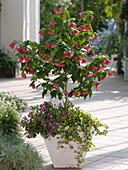 Abutilon (Schönmalve), Stämmchen unterpflanzt mit Cuphea llavea Vienco