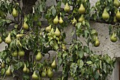 Birne 'Conference' (Pyrus) am Spalier an Hauswand
