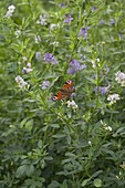 Tagpfauenauge auf Saat-Luzerne (Medicago sativa)