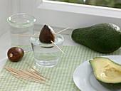 Avocado vermehren auf der Fensterbank