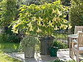 Gelbe Datura syn. Brugmansia aurea (Engelstrompete) auf der Terrasse
