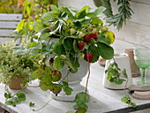 Erdbeepflanze mit Früchten im weißem Topf mit Fuß