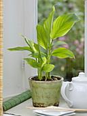 Krachai syn. Chinesischer Ingwer (Boesenbergia pandurata)