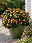 Porträt von Helichrysum 'Sundaze Bronze'