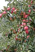 Resistente Apfelsorte 'Evelina' (Malus)