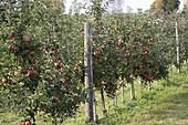 Resistente Apfelsorte 'Florina' (Malus) an Drahtspalier