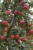 Resistente Apfelsorte 'Rewena' (Malus)