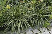 Carex morrowii (Japan - Segge) am Beetrand