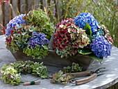 Verblühende Hortensienblüten in Holztablett mit Griff
