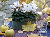 Cyclamen persicum Halios ' Dhiva White' (Alpenveilchen) in Metall - Jardiniere