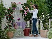 Mandevilla splendens mit großen rosa Blüten, Mandevilla Sundaville 'Cosmos