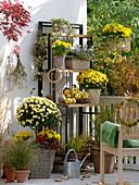 Chrysanthemum (Herbstchrysanthemen), Cyclamen (Alpenveilchen), Hedera