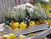Calluna Garden Girls 'Alicia' (Knospenblühende Besenheide), Chrysanthemum