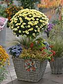 Chrysanthemum (Herbstchrysantheme) Stamm unterpflanzt mit Abelia