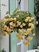 Begonia 'Chardonnay' (Hängende Begonie) im Ampeltopf