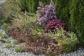 Herbstbeet mit Kieseinfassung vor Lebensbaum - Hecke
