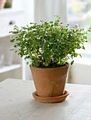 Pelargonium fragans (Duftgeranie) in Terracotta - Topf