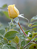Rosa 'Sunlight Romantica' (Rosa von Bkn - Strobel), gelbe Beetrose