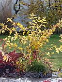 Physocarpus 'Darts Gold' (Blasenspiere) in Herbstfärbung , Carex morrowii