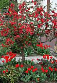 Chaenomeles 'Nicoline' (Zierquitte) als Stamm, Tulipa 'Apeldoorn' (Tulpen)