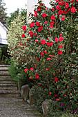 Rotblühende Kamelie im Garten