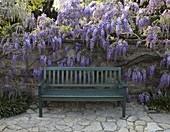Wisteria sinensis (Blauregen) an Steinmauer mit Bank