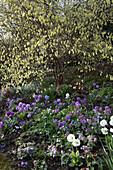 Hanggarten mit Corylopsis spicata (Scheinhasel), Primula denticulata (Kugel- primeln), Corydalis solida (Hohler Lerchensporn), Chionodoxa (Schneeglanz)