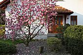 Magnolia soulangeana 'Rustica Rubra' (Tulpen-Magnolie) im Vorgarten,