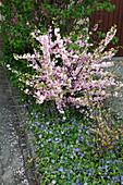 Prunus triloba (Mandelbäumchen) in Beet mit Vinca minor (Immergrün)