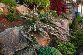 Cytisus purpureus (Purpur-Ginster) auf Trockenmauer