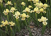 Iris barbata 'Nana' (Niedrige Bart-Iris) im Kiesbeet