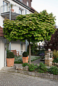 Acer platanoides 'Globosum' (Kugel-Ahorn) im Vorgarten, Buxus (Buchs) in Terracotta-Töpfen , Bank an Hauswand