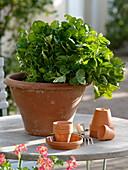 Blattgemüse 'Tatsoi' (Brassica chinensis) in Terracotta - Schale