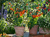 Chili 'Habanero' - orange (Capsicum chinense)