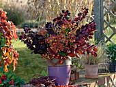 Herbststrauß mit dunkelrotem Cotinus (Perückenstrauch), Chrysanthemum