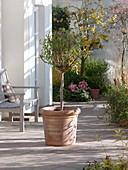 Enzianbaum (Solanum rantonnetii) zurückschneiden 3/3