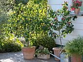 Kübelpflanzen - Terrasse mit Abutilon (Schönmalve)