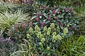 Skimmia 'Rubella' (Blütenskimmien), Carex morrowii (Japan - Segge)