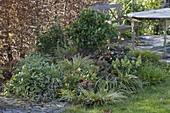 Skimmia 'Rubella' (Blütenskimmie), Acorus (Zwerg-Kalmus), Carex morrowii