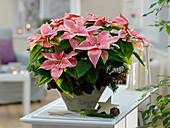 Euphorbia pulcherrima 'Marble Star' (Weihnachtsstern)