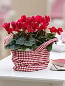 Cyclamen persicum (Alpenveilchen) in rot-weiß-karierter Stofftasche