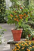 Chili 'Habanero' - orange (Capsicum chinense) gehören zu den schärfsten Chilli