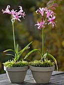 Nerine bowdenii (Kleine Gartenamaryllis)
