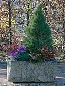 Steintrog winterfest bepflanzt mit Picea glauca 'Conica' (Zuckerhutfichte)
