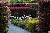 Heckenlabyrinth mit Tulipa (Tulpen), Heuchera (Purpurglöckchen), Hecken aus Fagus sylvatica 'Atropunicea' (Blutbuche), Prunus cerasifera 'Nigra' (Blutpflaume), Ligustrum ovalifolium 'Aureum' (Goldliguster), Weg mit Kies