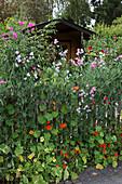 Zaun bewachsen mit einjährigen Kletterpflanzen