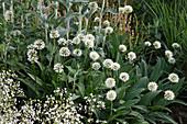 Allium victorialis (Allermannsharnisch) im Staudenbeet