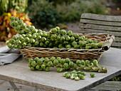 Frisch geerntete Strünke von Rosenkohl (Brassica oleracea var. gemmifera)