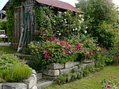 Rosen auf Trockenmauer aus Granit
